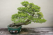 25 Chinese Elm Tree Seeds, Ulmus Parvifolia, Bonsai - US SELLER