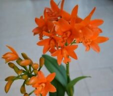 Orchid Cattleya.Rth Chief Sunkiss
