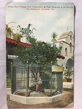 Vintage Roosevelt Parent Navel Orange Tree Riverside, CA postcard unposted