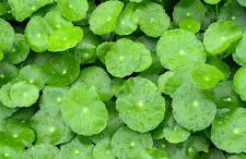Gotu Kola Hydrocotyle Asiatica Living Memory Herbal Water Medical Pond Plant