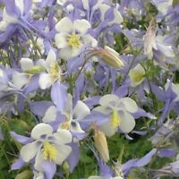 Columbine (Aquilegia Caerulea) Blue Star- 50 seeds