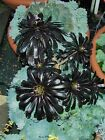 Succulent cuttings Black Rose Aeonium Zwartkop Drought tolerant 20 small