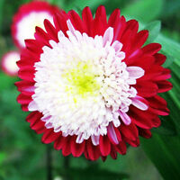 Seeds Aster Pompon Winter Cherry Red Outdoor Annual Garden Cut Organic Ukraine