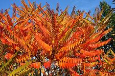 Essigbaum Rhus typhina Hirschkolbensumach 60-100 Containerpflanze Herbstfärber