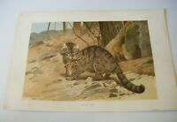1893 Antique Original Victorian Chromolithograph Print  - WILD CAT by W.KUHNERT