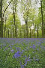 British Wild Flower - English Bluebell  - 100 Seeds