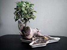 Umbrella Tree - SCHEFFLERA ARBORICOLA - 12 Seeds - Tropicals