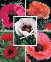 1000 ORIENTAL POPPY MIX Papaver Orientale Mixed Color Flower Seeds Red Yellow