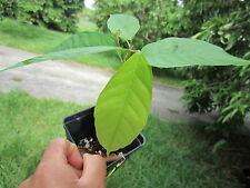 "22 - 26"" Tall Florida Theobroma Cacao Cocoa Chocolate Tropical Fruit Tree Plant"