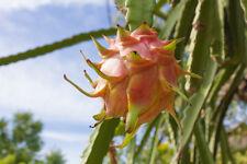 leckere Früchte PITAHAYA gelb 10 Samen Obst Kübelpflanze Drachenfrucht