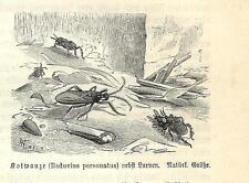 Stampa antica INSETTI Reduvius personatus INSECTA 1891 Old antique print