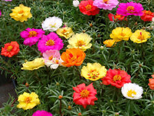 PORTULACA GRANDIFLORA - MOSS ROSE DOUBLE MIX (1000 SEEDS.)