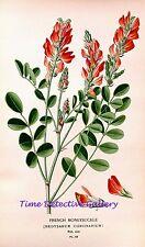 Botanical Illustration of the French Honeysuckle  - Historic Art Print