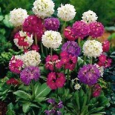 25+ Primula Ronsdorf Strain Mix / Denticulata / Perennial Flower Seeds