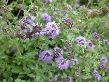 Pennyroyal (Mentha pulegium) Essential Oil, all natural mint, uncut, 12 ml