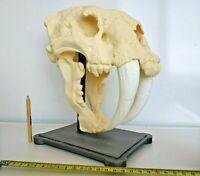 Huge Sabertooth skull