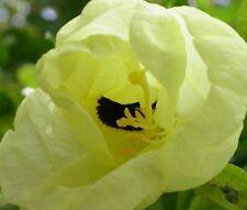 seltener, duftender, tropischer Glocken-Orchideenbaum !