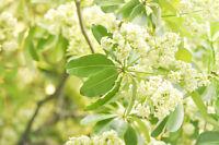 ** DITABAUM schön blühender Baum: selten exotische  Pflanzen Samen Zierbaum.