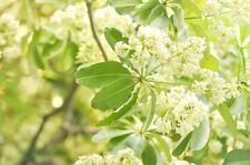 Exot Pflanzen Samen exotische Saatgut Zimmerpflanze Zimmerbaum DITABAUM