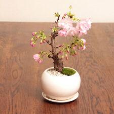 10pcs Garden Japanese Sakura Seeds Bonsai Flower Cherry Blossoms Garden Hot Sale