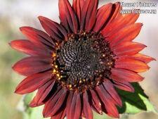 "25 Velvet Queen Sunflower Helianthus Annuus Dark Red Big 8"" Flower Seeds + Gift"