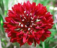 CORNFLOWER BACHELOR BUTTON RED Centaurea Cyanus - 2,500 Bulk Seeds