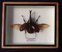 Real Xylotrupes Gideon bug fighting beetle display taxidermy insect entomology