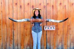 "STEER LONG HORNS MOUNTED 5' 6"" COW BULL SKULL TAXIDERMY LONGHORN LH2606"