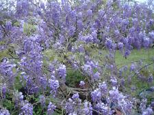 10pcs Purple Wisteria Flower Seeds Perennial Climbing Plants Home Garden