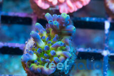 Rainbow Tort - Reefnation SPS