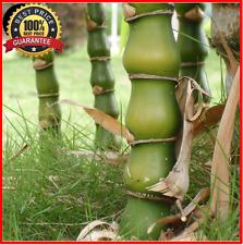 100++ Fresh Huge Dragon Bamboo Tree Seeds Plant Bambusa ventricosa! HOT RARE !