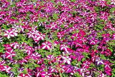 100 Red Star Petunia Seeds Petunia Hybrida Morning Glory Garden Flowers