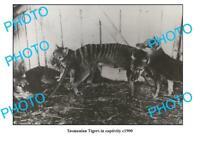 OLD 8x6 PHOTO FEATURING TASMANIAN TIGER IN CAPTIVITY c1900