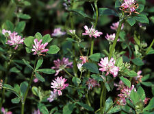 Perserklee 1.500 Samen Trifolium Resupinatum Perser Klee