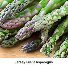 25 Jersey Giant Asparagus Crowns - Licensed Nursery - Usa Seller