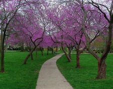 REDBUD TREE *  20 SEEDS *  SHOWY *