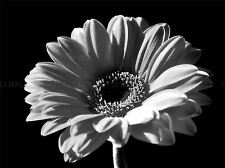 BLACK WHITE GERBERA FLOWER BLOOM PHOTO ART PRINT POSTER PICTURE BMP029A