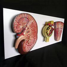 Anatomical Human Kidney, Glomerulus and Nephron Model - Medical Anatomy