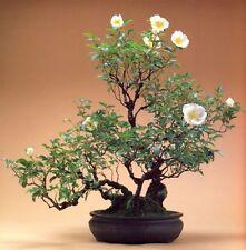 Bonsai seeds - Yellow Manchu Rose (Canary Bird), Rosa xanthina, Seeds