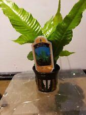 Potted Broadleaf Bolbitis Small Aquarium Plant Bolbitis Heteroclita