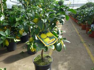Zitronenbaum Zitrone stark duftend Pflanze ca. 80 - 100 cm Citrus Limone