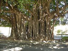 100+ Seeds of Ficus benghalensis Tree Indian banyan Best Bonsai Plant Aalamaram