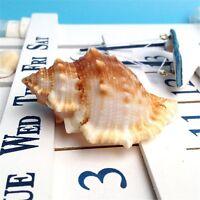2 pcs Natural Spiral Sea Shells Beads Craft Decor Beach Fish Tank 3cm - 6cm
