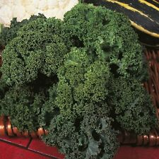 KALE Westland Winter. ORGANIC SEED. Traditional kale. Curled blue-green leaves.