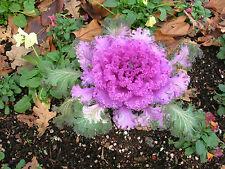ZIERKOHL 25 Samen Brassica Oleracea Var Acephala Krause Sorte