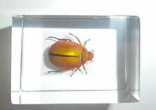 Golden Flower Beetle Mimela specularis Real Insect Specimen Education Aid