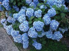 "Nikko Blue Hydrangea macrophylla Established Perennial Rooted 3.5"" Pot 3 Plants"