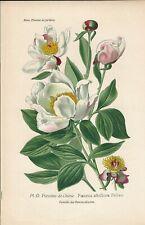 Stampa antica FIORI PEONIA ALBIFLORA botanica 1896 Antique print