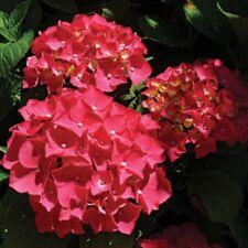 HYDRANGEA RED MOPHEAD SHRUB ESTABLISHED IN 9CM POT HEALTHY, HARDY PLANT