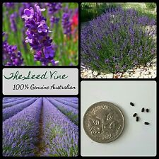 50+ 'TRUE' ENGLISH LAVENDER SEEDS (Lavandula angustifolia) Fragrant Cottage